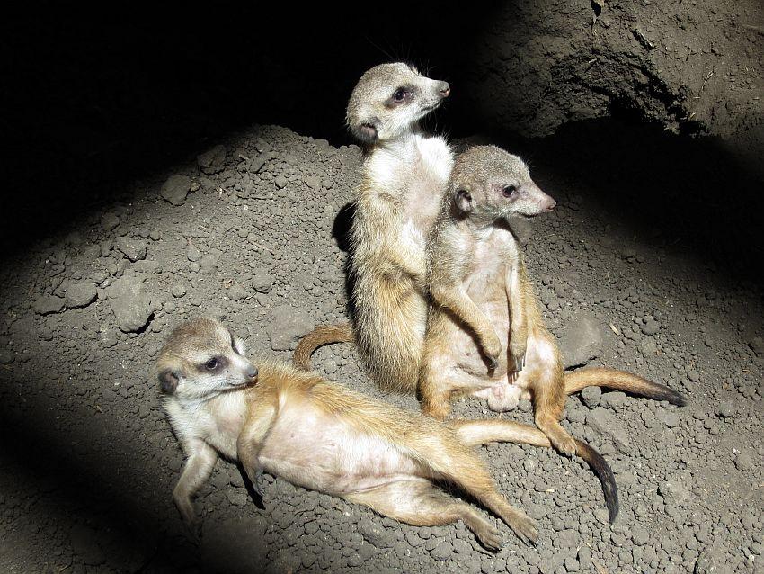 Meercats, posing