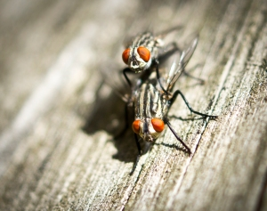two flies with orange eyes