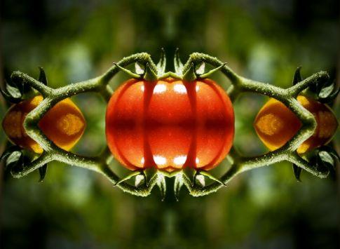 manipulated tomato