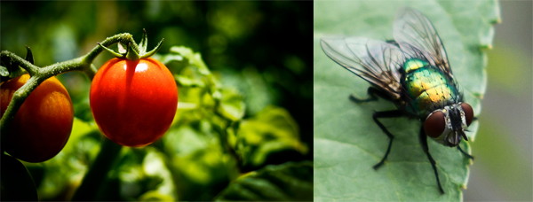 Tomatoes and a fly