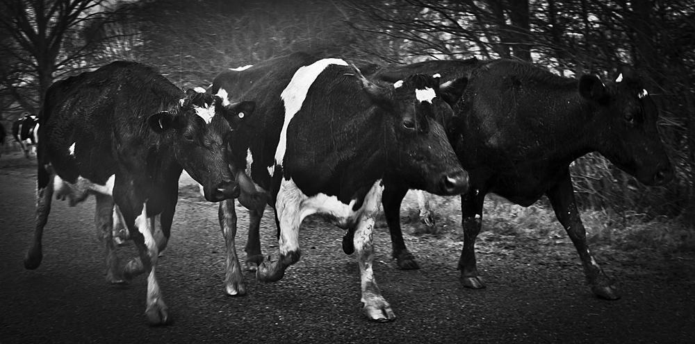 unhappy cows
