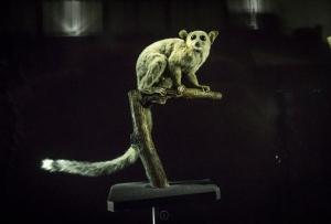 Museum Lemur
