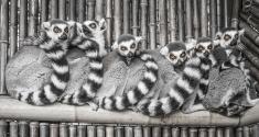 Lemurs hudling