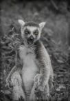 Lemurs, again