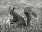 Squirrel in Regent's Park, London
