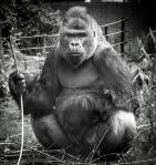 Boss gorilla