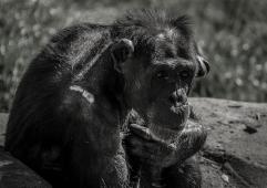 old chimpanzee