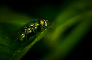 Green fly on a green leaf