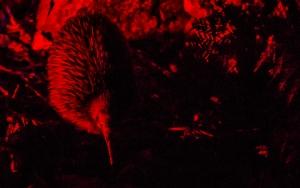 Nocturnal kiwi bird