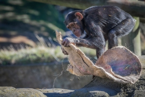 chimp looking hard