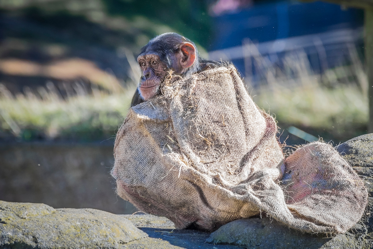 chimp with sack
