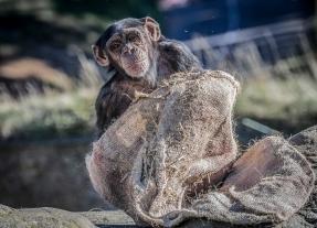 Chimp blanket