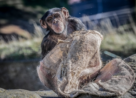 Chimp blanket