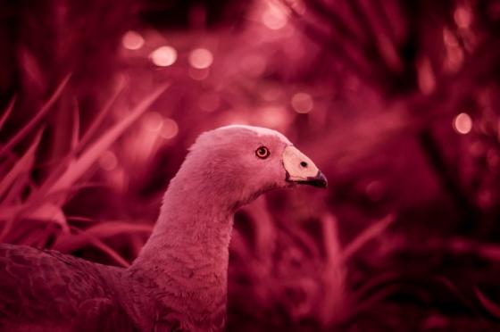 IR goose