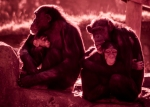 IR chimp mothers
