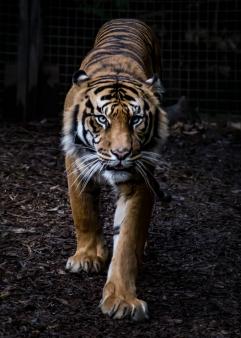 Tiger burning etc