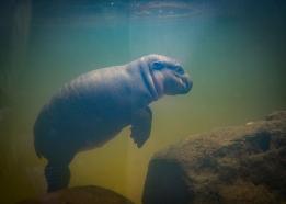 Baby pigmy hippo
