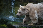 Passing bear