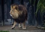 Show-off lion