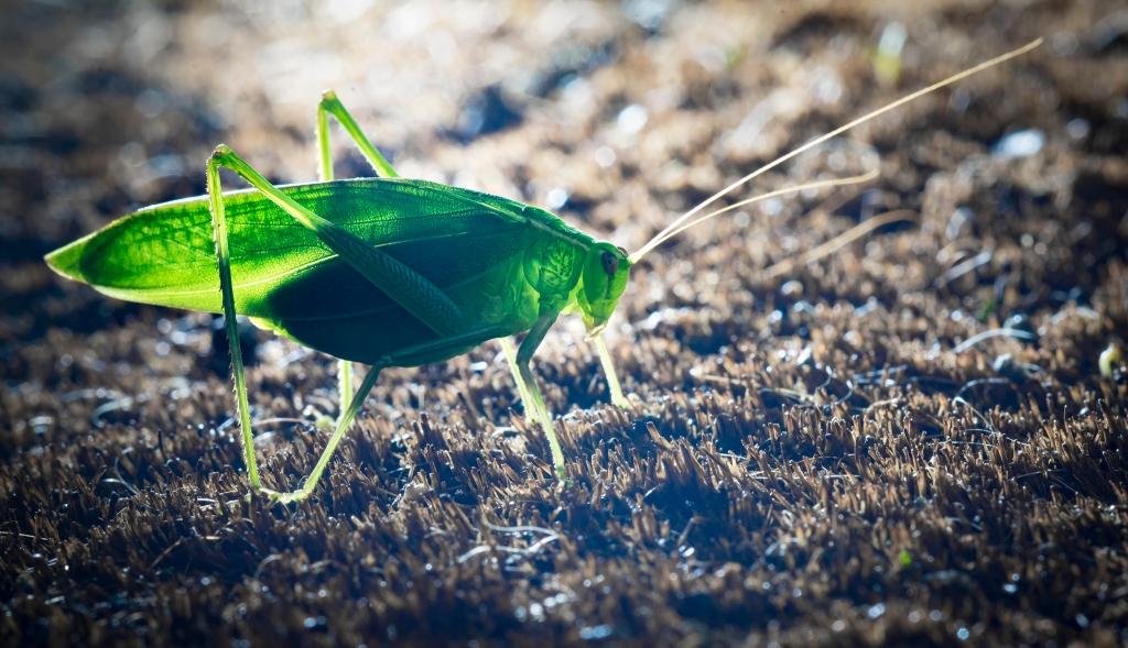 backlit katydid