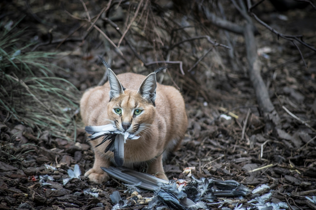 Caracal cat and an ex-pidgeon
