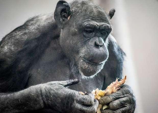 chimp chomping