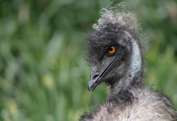 Derpy Emu