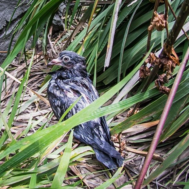 concussed pigeon