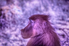 IR Baboon