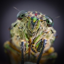 Cicada up close and personal