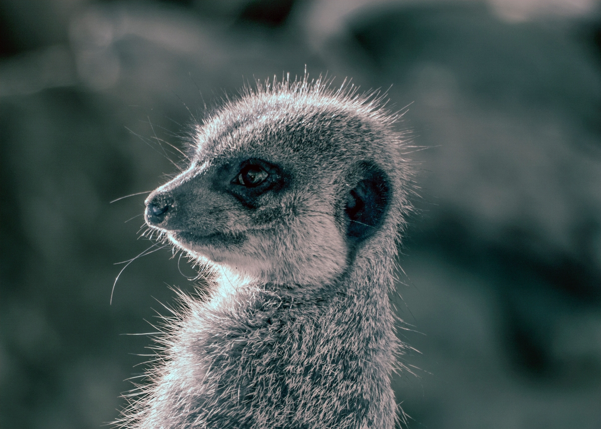 Baby Meerkat at Wellington Zoo