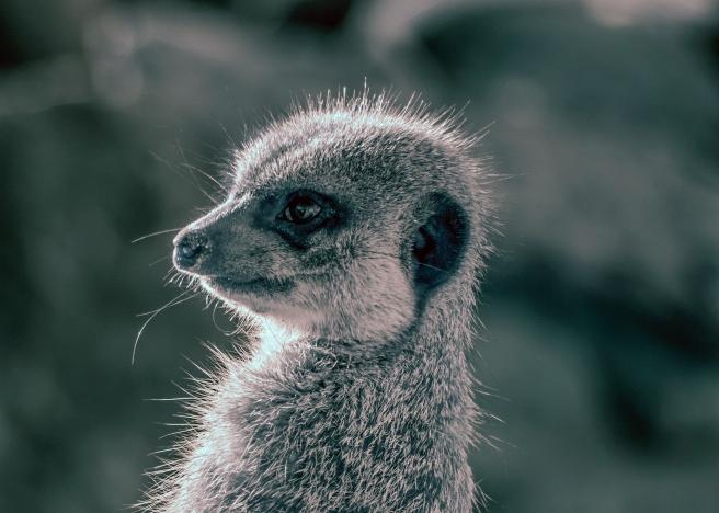 Baby Meerkat at Wellington Zoo