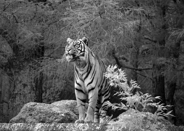 IR Tiger
