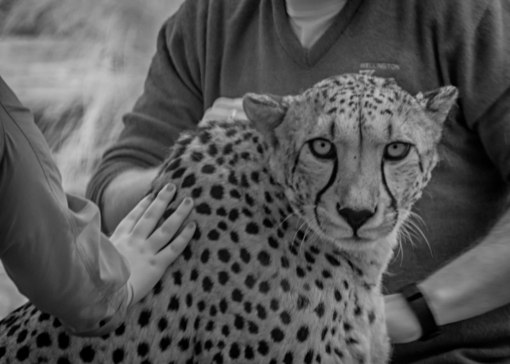 Cheetah, being patted