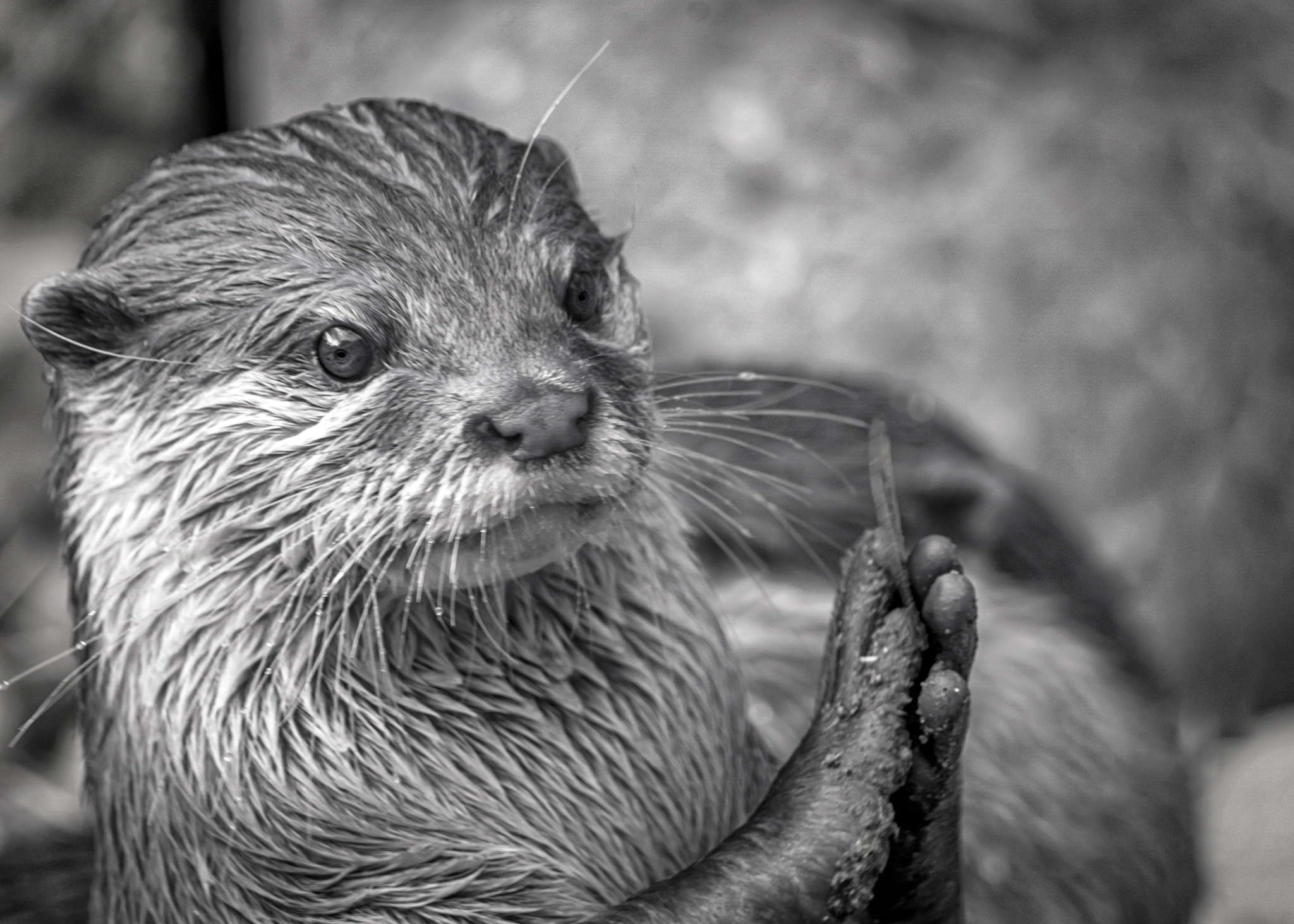 Otter clapping