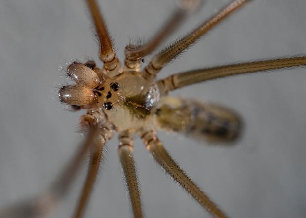 Daddy Longlegs spider