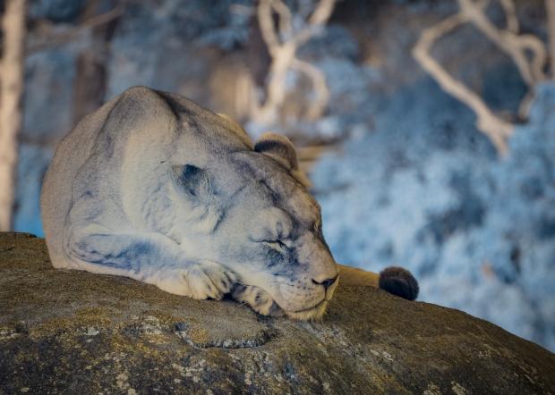 IR Lioness