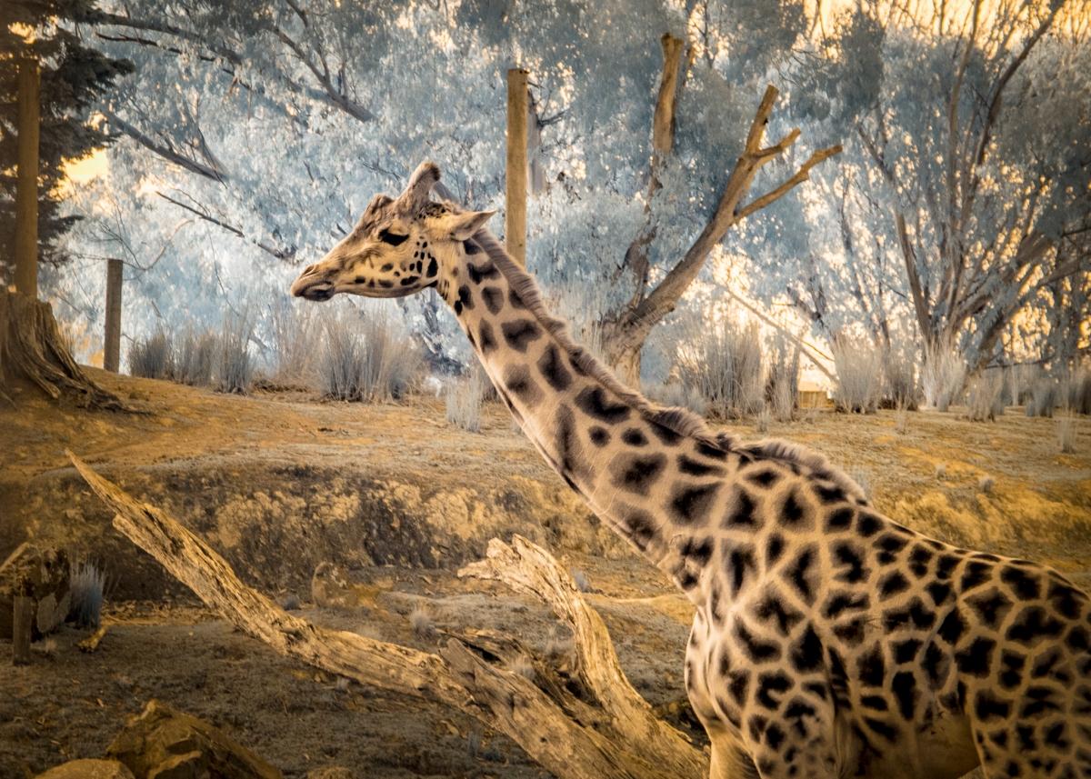 IR Giraffe