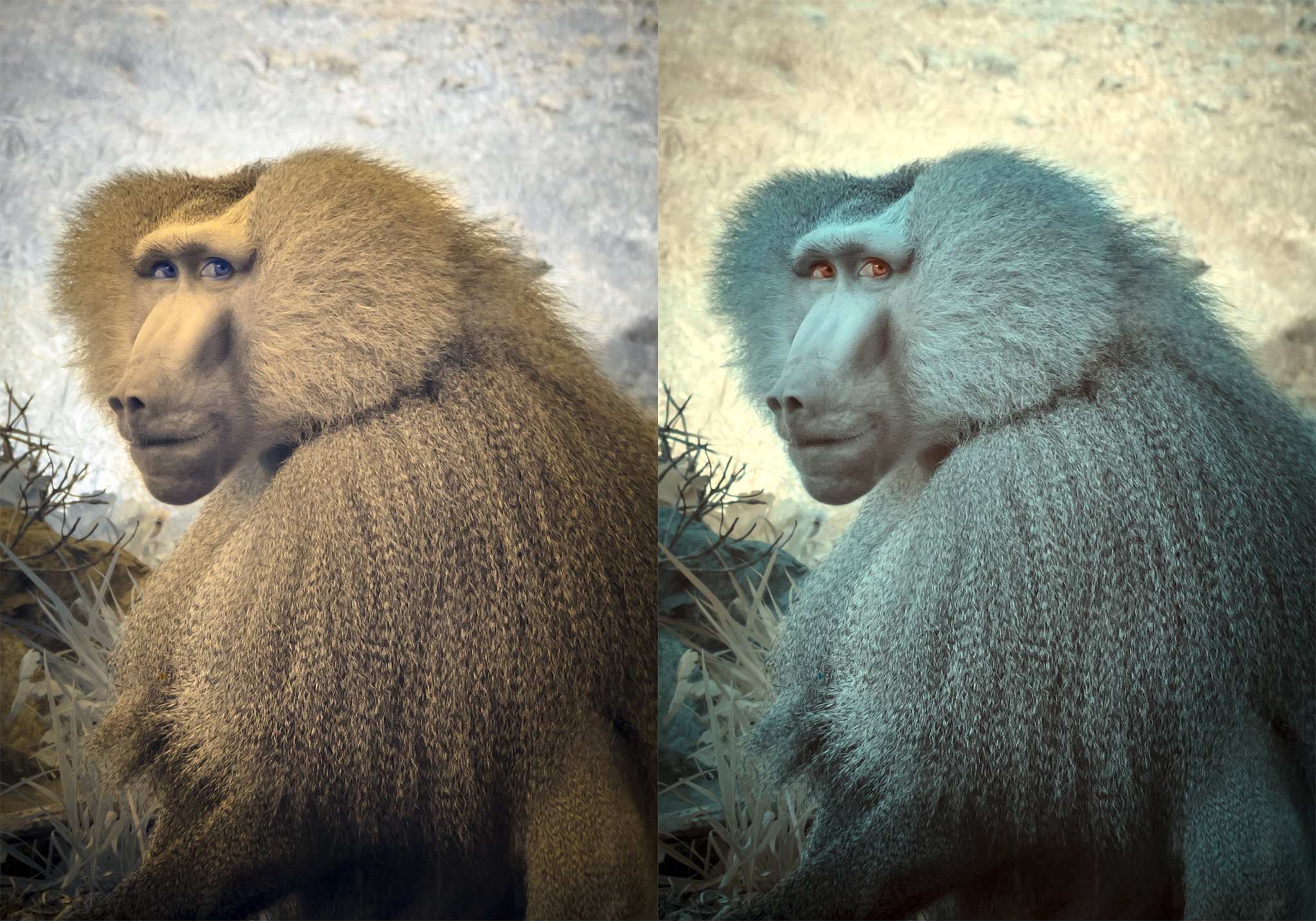 Baboon processed 2 ways