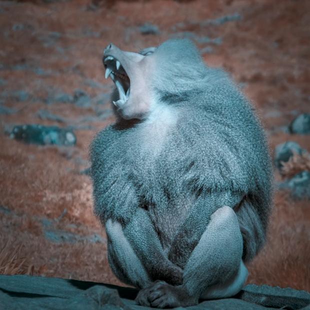 Bitey ape