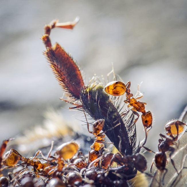 Ants on a bee leg