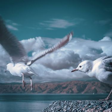 Seagulls, IR modified camera